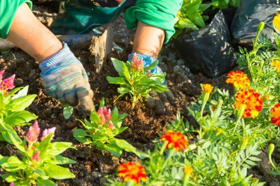 Gardener's hand planting flowers in the garden.